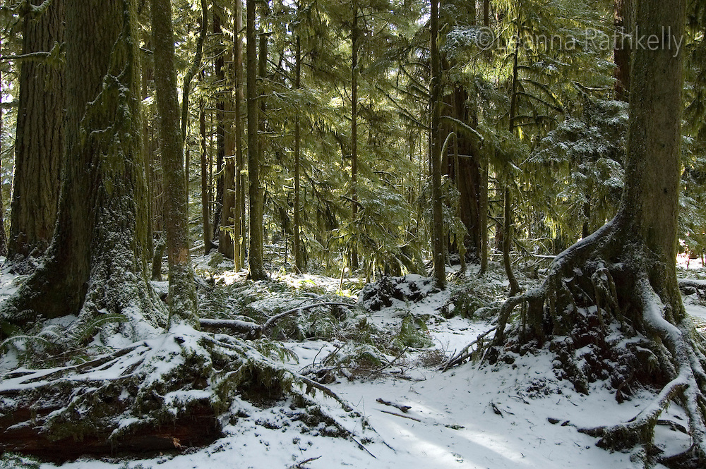 A rare snowfall covers the ancient cedar trees at Macmillan Provincial Park near Port Alberni, BC Canada.