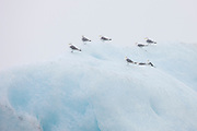 Eight common gulls (Larus canus canus) rest on top of a giant iceberg in Jökulsárlón, the glacier lagoon in Iceland.