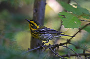 Female townsend's warbler in an old-growth western larch forest. Yaak Valley in the Purcell Mountains, northwest Montana.