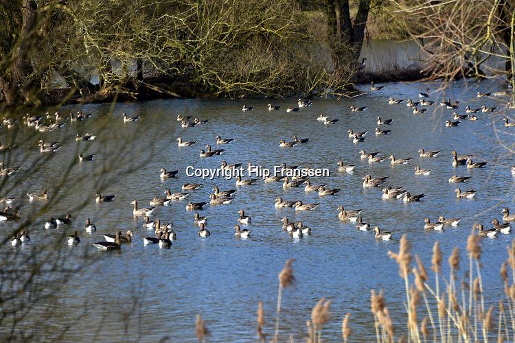Nederland, Ooij, 16-3-2016Een grote groep wilde ganze drijft op het water van een plas, wiel, kolk, dicht bij de rivier.FOTO: FLIP FRANSSEN/ HH