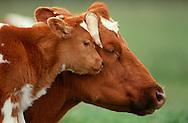 DEU, Deutschland: Hausrind (Bos taurus), Mutterkuh und Kalb, Köpfe dicht beieinander, Mutter-Kind-Verhalten, zeigt Zuneigung, Rasse: Rotbunte, Norddeutschland | DEU, Germany: Domestic cattle (Bos taurus), mother cow and calf head to head, mother-child-behaviour, showing affection, race: Red Holstein, Northern Germany |