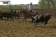Senior citizen cowboy rides Quarter Horse in cutting competition