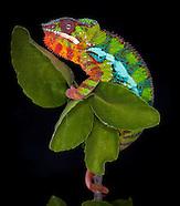 Bruce's Chameleons