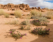 The vetch flower is in the pea family. Admire fanciful hoodoos, mushroom shapes, and rock pinnacles in Goblin Valley State Park, in Emery County between the towns of Green River and Hanksville, in central Utah, USA. The Goblin rocks eroded from Entrada Sandstone, which is comprised of alternating layers of sandstone (cross-bedded by former tides), siltstone, and shale debris which were eroded from former highlands and redeposited in beds on a former tidal flat.