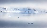 Brunnich's Guillemot, Uria lomvia, Spitsbergen, Svalbard