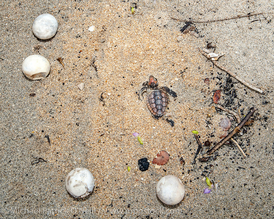 Drowned eggs and Loggerhead Sea Turtle hatchling, Caretta caretta, littler the beach in Coral Cove Park on Jupiter Island, Florida  during Hurricane Dorian, a powerful and destructive hurricane that impacted the Bahamas and the United States in the summer of 2019.