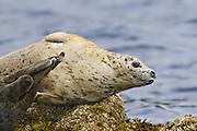 Harbor Seal (Phoca vitulina) - Alaska