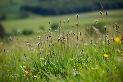 Ribwort Plantain. Plantago lanceolata