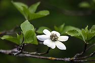 A Pacific Dogwood (Cornus nuttallii) flower in a forest in Langley, British Columbia, Canada.  The Pacific Dogwood is British Columbia's official flower and is featured on the BC provincial coat of arms.