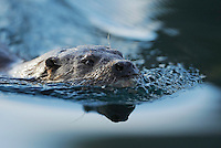 European otter, Lutra lutra, The Living Sea, North Atlantic, Flatanger, Nord-Trondelag, Norway.