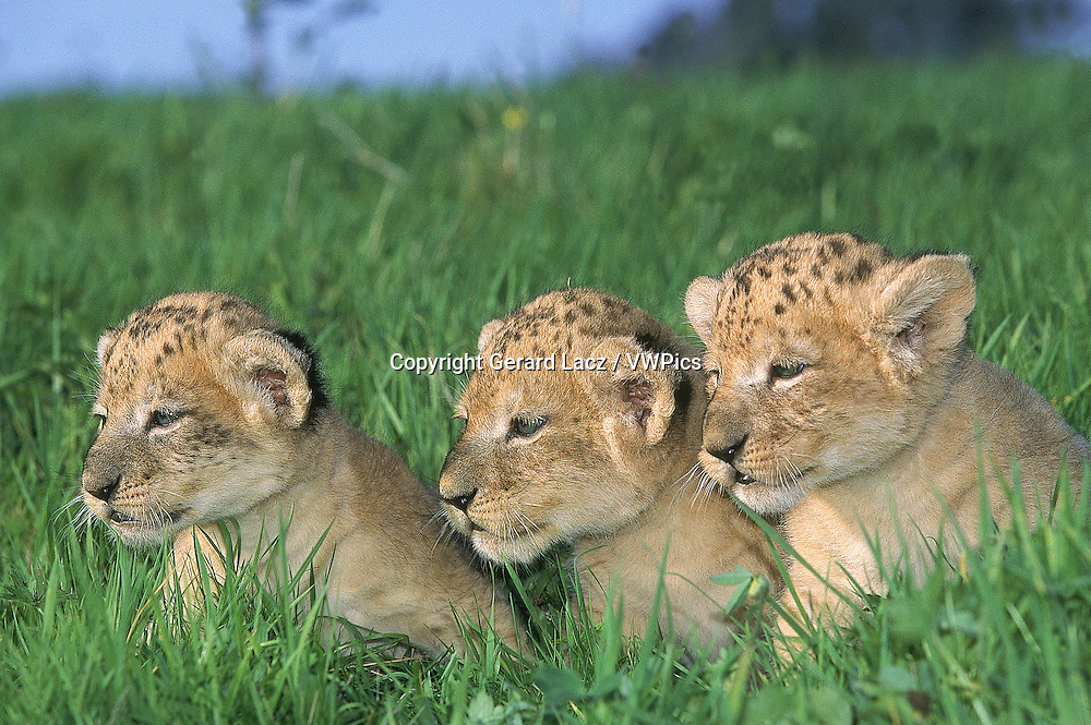 AFRICAN LION panthera leo, CUB SITTING ON GRASS