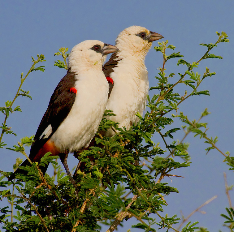 Two White-headed Buffalo Weavers (Dinemellia dinemelli) perched on top of a tree.