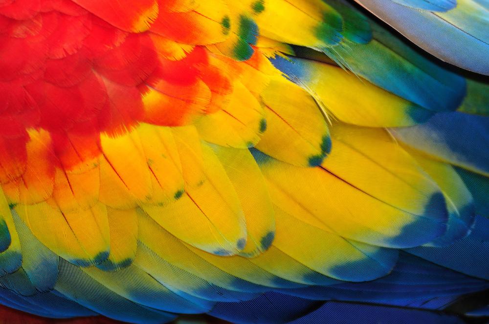 Macaw,parrots,Copan Ruinas, Central America, Honduras.