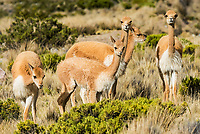 Vicunas in the peruvian Andes at Arequipa Peru