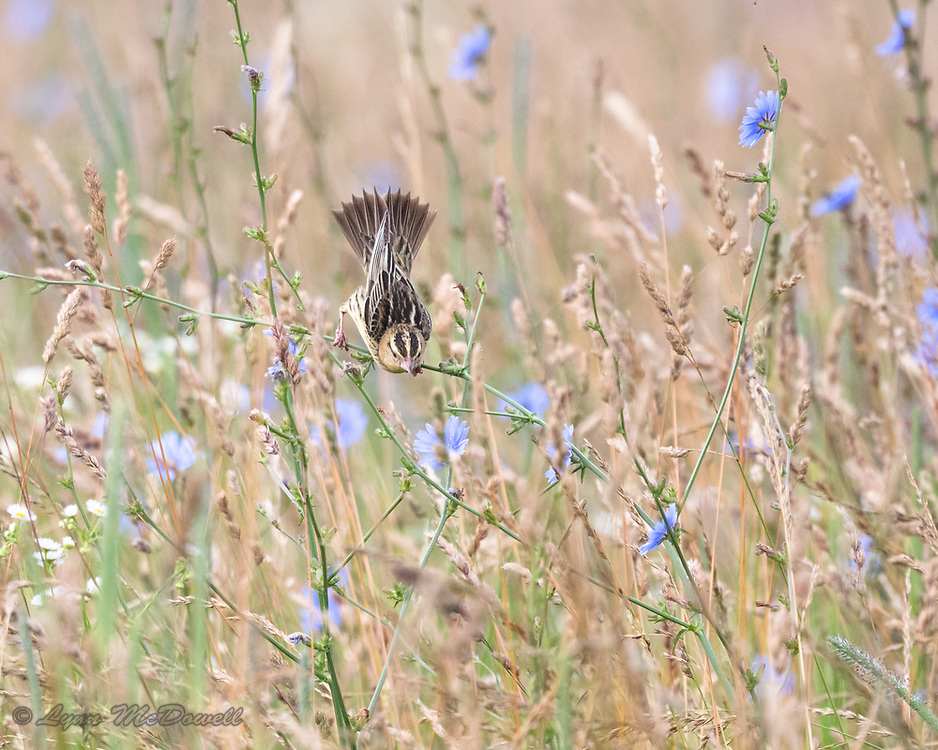 Fields are essential for breeding Bobolink, this female is heading to her nest on the ground.