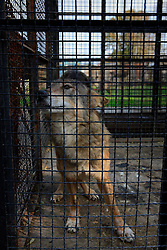 ROMANIA ONESTI 26OCT12 - A Eurasian wolf in captivity at the Onesti zoo.  ..The zoo has been shut down due to non-adherence with EU regulations on the welfare of animals.......jre/Photo by Jiri Rezac / WSPA......© Jiri Rezac 2012