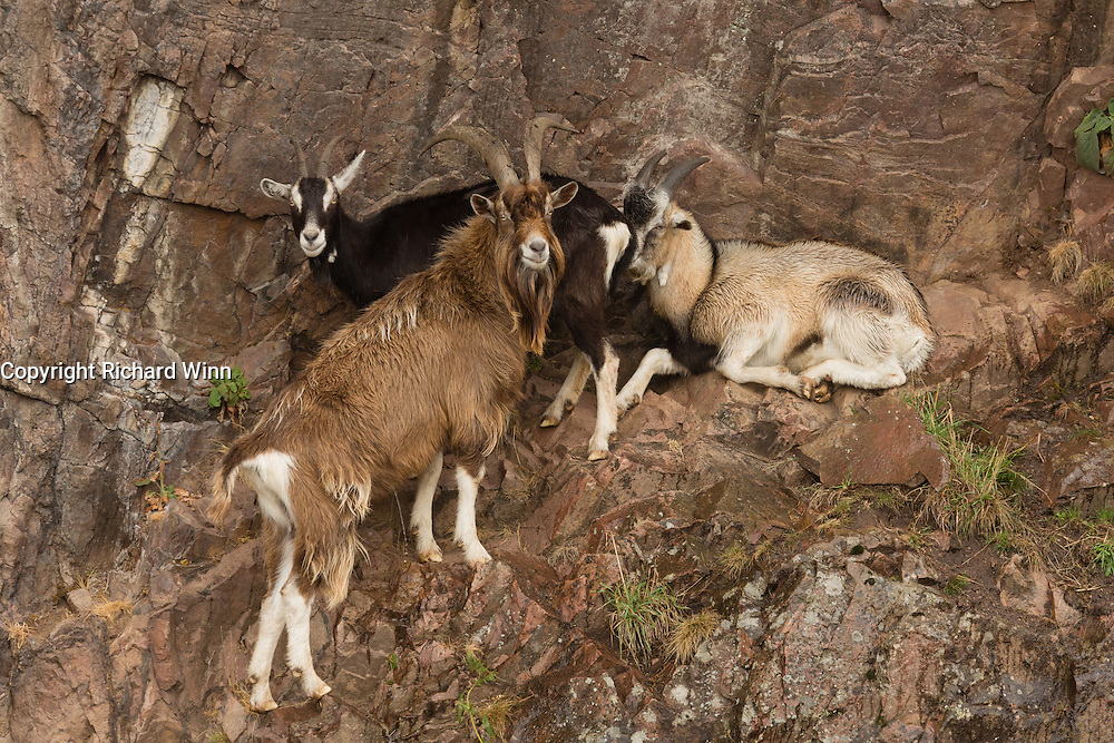 A group of feral goats sheltering from the rain in a quarry near to the Falls of Shin.
