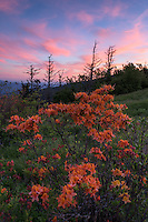 Flame Azalea bloom vivid orange, yellow and red colors along the Appalachian Trail on Engine Gap, part of the Roan Highlands.  The Roan Highlands are a series of extremely rare and endangered open, grassy bald habitats along the state borders of Tennessee and North Carolina