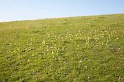 Wildflowers growing chalk calcareous grassland downland ecosystem, Wiltshire, England, UK