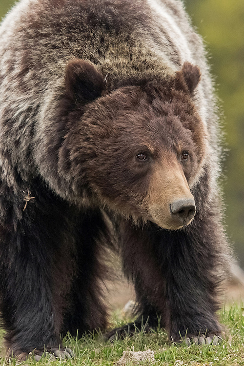 It has often been said that grizzly bears have poor eyesight, but their visual acuity is comparable to that of humans.  In addition, their ability to see at night is far superior to ours.