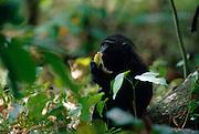 Celebes Crested Macaque (Macaca nigra) | Der junge Schopfmakake frisst eine herunter gefallene Kokosnuss.