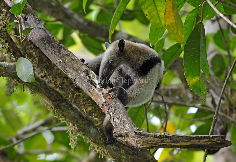 Northern Tamandua or Collared Anteater (Tamandua mexicana) digging for termites in rainforest. Corcovado National Park, Osa Peninsula, Costa Rica. <br />