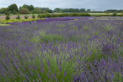 North America, United States, Washington, Sequim, fields in bloom at Lavender Festival, held annually each July
