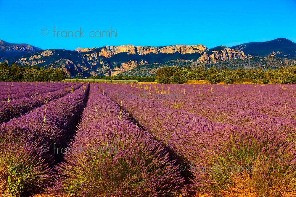 french provence lavender field in the verdon