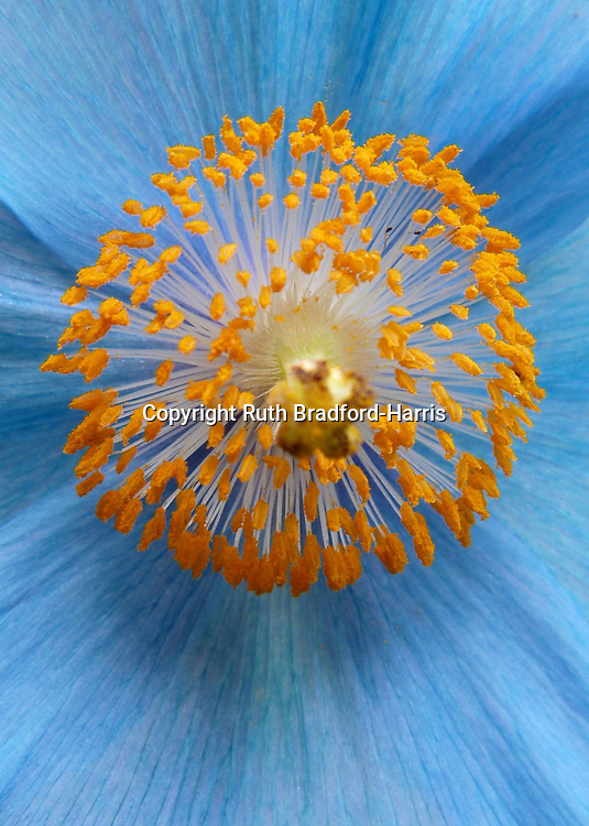 A globe of golden stamens at the heart of a blue Himalayan poppy, Meconopsis 'Lingholm'.<br />