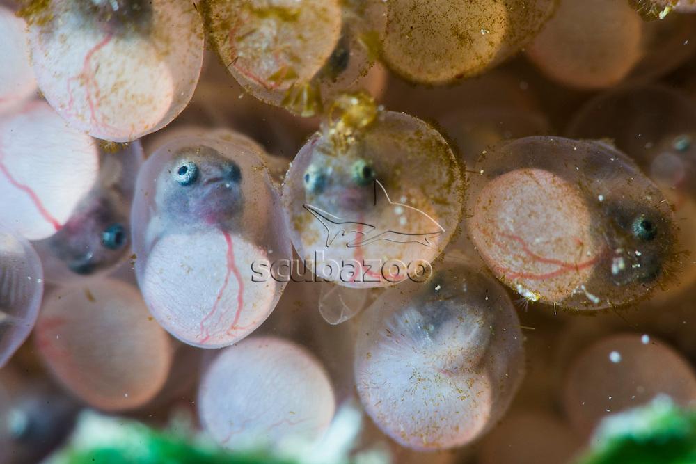 Eggs of Three Spot Frogfish, Lophiocharon trisignatus, Tunku Abdul Rahman Marine Park, Sabah, Borneo, East Malaysia.