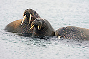 Walrus family at Phippsøya north of Spitsbergen, Norway