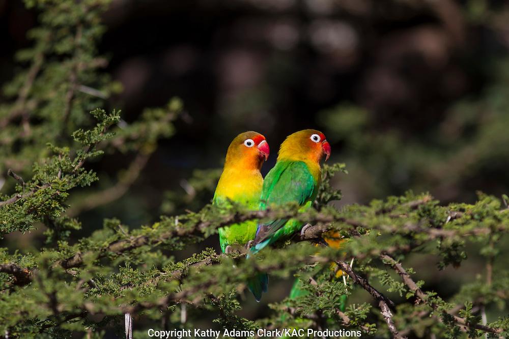 Fischer's lovebird, Agapornis fischeri, pair, Ndutu, Ngorongoro Conservation Area, Tanzania, Africa.