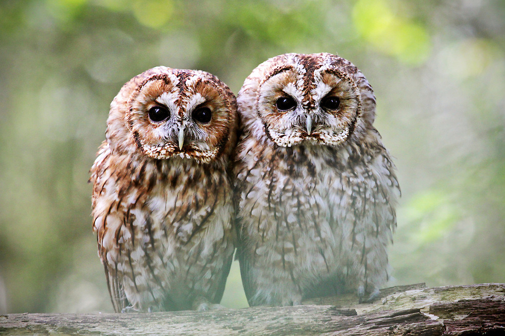These gorgeous owls are part of a wildlife collection.