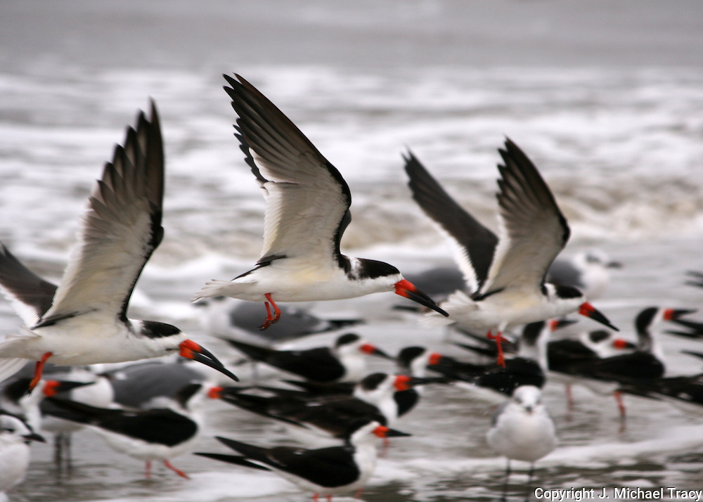 Skimmers taking flight on a remote section of Jekyll Island beach.