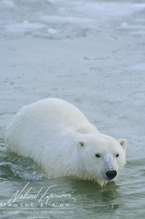 Polar Bear (Ursus maritimus) adult swimming in the icy waters of Hudson Bay. Canada