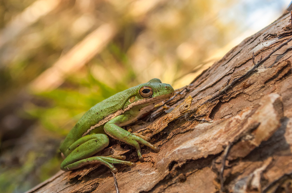A large squirrel treefrog rests during the day on the trunk of a bald cypress tree in Florida's Big Cypress National Preserve.