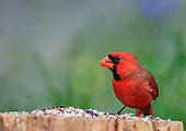 Birds-Song Birds