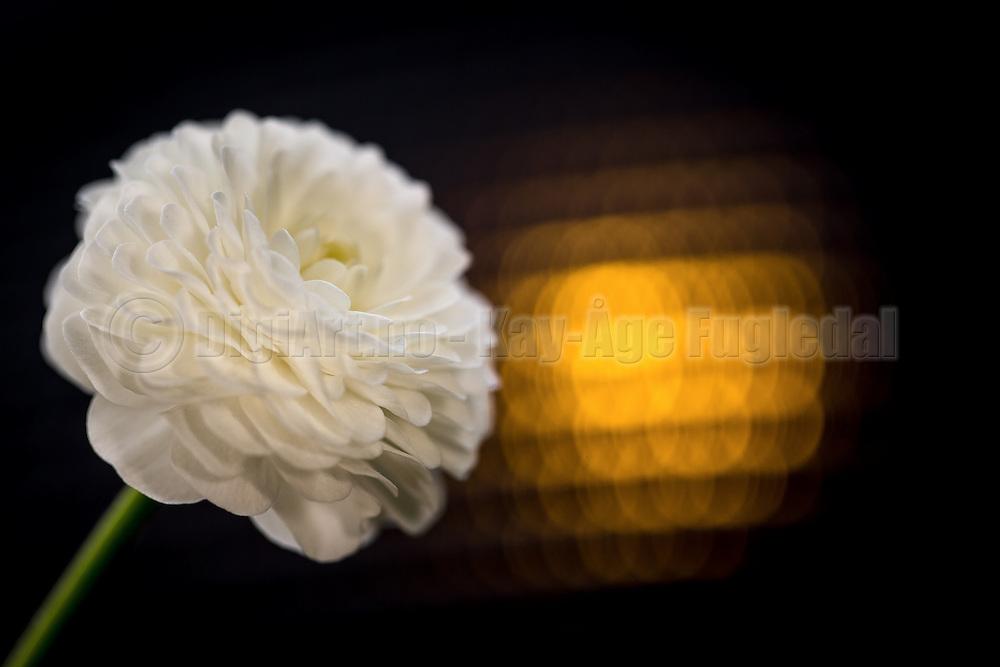 White flower with yellow backlight | Hvit blomst med gult baklys