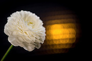 White flower with yellow backlight | Hvit blomst med gult baklys