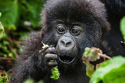 A look of surprise on the face of an endangered mountain gorilla infant (Gorilla beringei beringei),Volcanoes National Park,  Rwanda