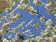 Det blommar om våren