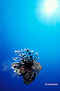 lionfish or turkeyfish, Pterois miles or Pterois volitans,<br /> Surin Islands, Thailand, ( Andaman Sea,  Indian Ocean )