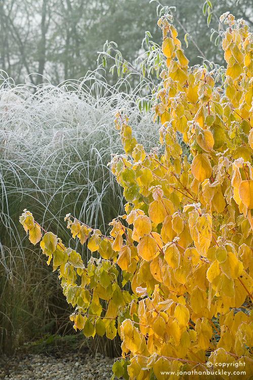 Cornus sanguinea 'Midwinter Fire' with frost. Shows yellowing leaf colouring and red stems. Dogwood