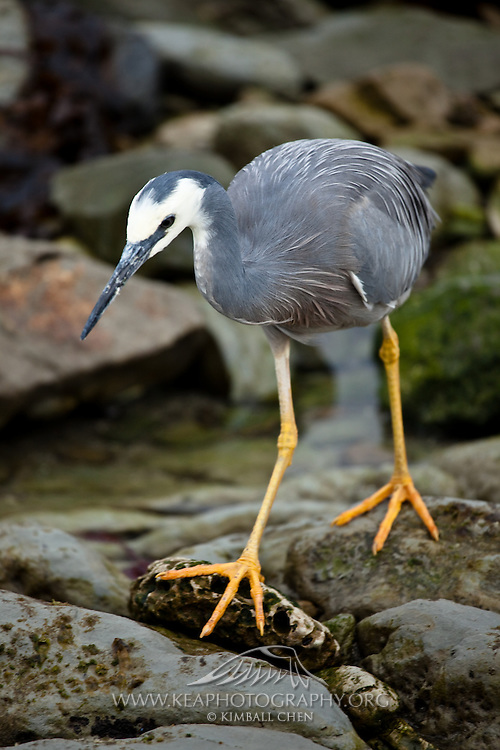 White-faced Heron, Curio Bay, Catlins New Zealand