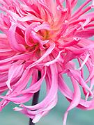 Dahlia 'Sarah Mae' - cactus dahlia