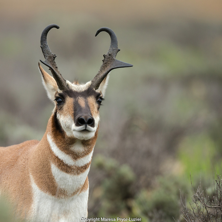 Pronghorn antelope buck showing territorial behavior, Antilocapra americana,  Grand Tetons NP, Wyoming
