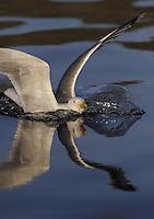 Herring Gull, Larus Argentatus.Flatanger, Nord-Trondelag, Norway