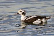 Long-tailed Duck - Clangula hyemalis - winter male