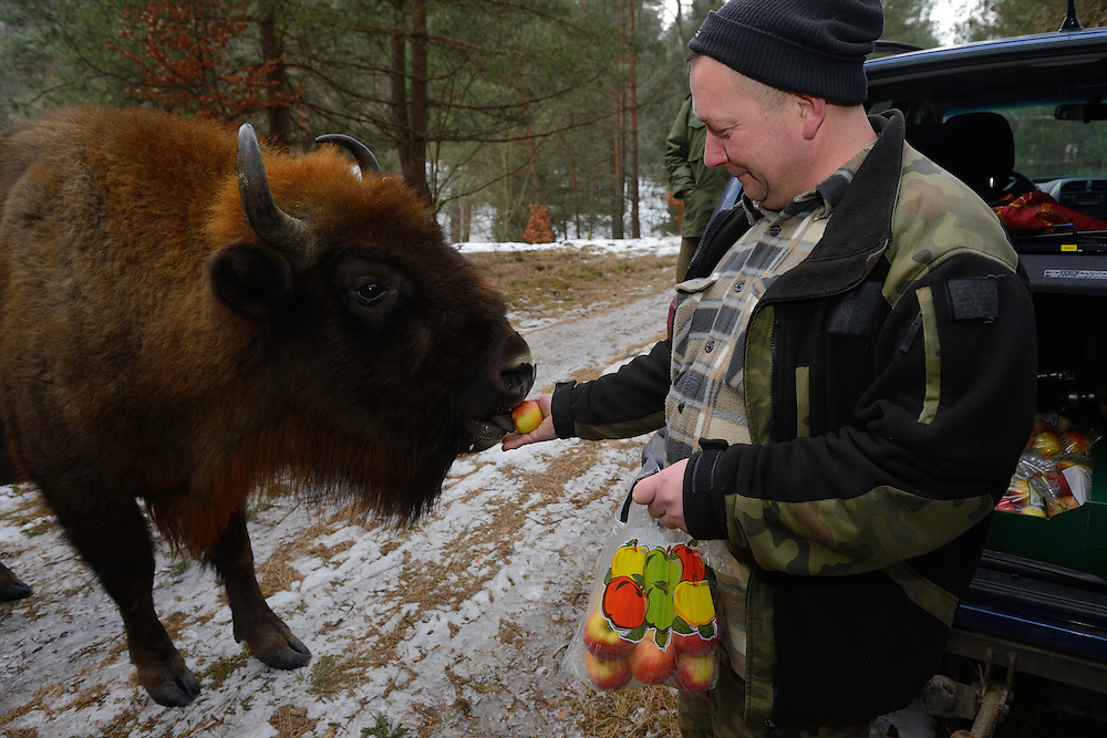 Artur Furdyna feeding apples to wild European bison, Bison bonasus, Drawsko Military area, Western Pomerania, Poland