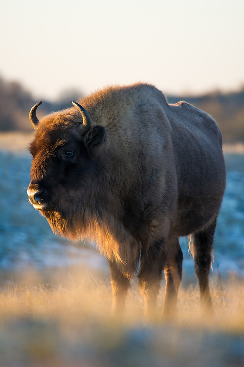 European bison (Bison bonasus) standing in the dunes on a cold morning